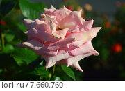 Купить «Роза чайно-гибридная Сент-Сэйши (лат. Scent-Sation)», эксклюзивное фото № 7660760, снято 18 июня 2015 г. (c) lana1501 / Фотобанк Лори