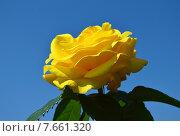 Роза чайно-гибридная Голден Вэдин (лат. Golden Wedding) Стоковое фото, фотограф lana1501 / Фотобанк Лори