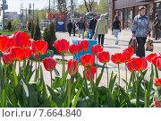 Купить «Цветущие тюльпаны на городской улице - фокус на цветах», фото № 7664840, снято 25 апреля 2015 г. (c) Ольга Алексеенко / Фотобанк Лори