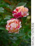Купить «Роза чайно-гибридная Морис Утрилло (лат. Maurice Utrillo), DELBARD, Франция», эксклюзивное фото № 7670532, снято 13 июля 2015 г. (c) lana1501 / Фотобанк Лори