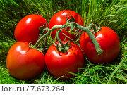 Свежие красные помидоры на ветке в зеленой траве. Стоковое фото, фотограф Владимир Ходатаев / Фотобанк Лори