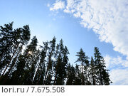 Сосны на восходе солнца летним утром тянутся  в безграничное синее небо. Стоковое фото, фотограф Сергей Кудрявцев / Фотобанк Лори