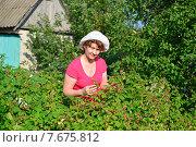 Купить «Женщина собирает урожай малины в саду», фото № 7675812, снято 2 июля 2015 г. (c) Володина Ольга / Фотобанк Лори