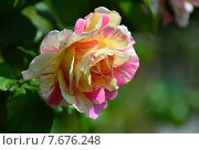 Купить «Роза чайно-гибридная Клод Моне (лат. Claude Monet), DELBARD, Франция», эксклюзивное фото № 7676248, снято 14 июля 2015 г. (c) lana1501 / Фотобанк Лори