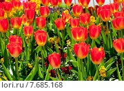 Красивые красные тюльпаны на клумбе в солнечный день. Стоковое фото, фотограф Татьяна Кахилл / Фотобанк Лори