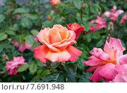 Розовая роза в саду. Стоковое фото, фотограф Татьяна Кахилл / Фотобанк Лори