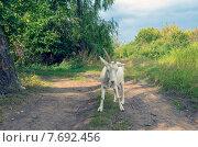 Купить «Белая коза на дороге», фото № 7692456, снято 7 сентября 2014 г. (c) Валерий Боярский / Фотобанк Лори