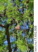Купить «Ветви лиственницы с молодыми шишками», эксклюзивное фото № 7692808, снято 20 мая 2015 г. (c) Елена Коромыслова / Фотобанк Лори
