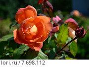 Купить «Роза кустарниковая Леди Эмма Гамильтон (лат. Lady Emma Hamilton), David Austin», эксклюзивное фото № 7698112, снято 14 июня 2015 г. (c) lana1501 / Фотобанк Лори