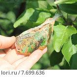 Гусеницы на листе яблони. Стоковое фото, фотограф Литвинова Евгения / Фотобанк Лори