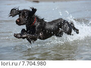 Купить «a wet young brown working type cocker spaniel puppy leaping into the sea», фото № 7704980, снято 19 августа 2018 г. (c) PantherMedia / Фотобанк Лори