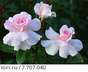 Купить «Роза чайно-гибридная на штамбе Э Уайтэ Шэйд оф Пэйл (лат. A Whiter Shade of Pale), Fryers Roses», эксклюзивное фото № 7707040, снято 1 июля 2015 г. (c) lana1501 / Фотобанк Лори