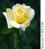 Купить «Роза чайно-гибридная Зе Уэйнрайт Роуз (лат. The Wainwright Rose), Fryer's Roses», эксклюзивное фото № 7707116, снято 1 июля 2015 г. (c) lana1501 / Фотобанк Лори