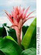Купить «Цветок эхмеи в лучах солнца», фото № 7715660, снято 18 июля 2015 г. (c) Mike The / Фотобанк Лори