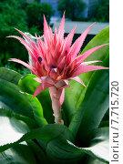 Купить «Цветок полосатой эхмеи на окне», фото № 7715720, снято 18 июля 2015 г. (c) Mike The / Фотобанк Лори