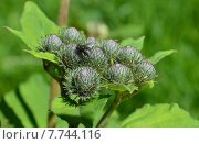 Соцветие лопуха войлочного или паутинистого (лат. Arctium tomentosum) Стоковое фото, фотограф lana1501 / Фотобанк Лори