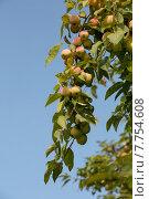 Яблоки на ветке на фоне неба в фруктовом саду. Стоковое фото, фотограф Владимир Ходатаев / Фотобанк Лори