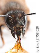 Купить «insect antenna honey bee honeybee», фото № 7758020, снято 16 октября 2019 г. (c) PantherMedia / Фотобанк Лори