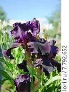 Купить «Ирис бородатый (Iris)», эксклюзивное фото № 7792652, снято 18 июня 2015 г. (c) Алёшина Оксана / Фотобанк Лори