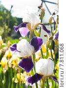 Купить «Ирис бородатый (Iris)», эксклюзивное фото № 7811068, снято 18 июня 2015 г. (c) Алёшина Оксана / Фотобанк Лори