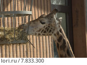 Купить «animal desert straw neck giraffe», фото № 7833300, снято 23 июля 2019 г. (c) PantherMedia / Фотобанк Лори