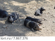 Купить «summer sand animals pack boars», фото № 7867376, снято 17 июня 2019 г. (c) PantherMedia / Фотобанк Лори