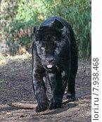 Купить «black skin cat tongue leopard», фото № 7938468, снято 7 декабря 2019 г. (c) PantherMedia / Фотобанк Лори
