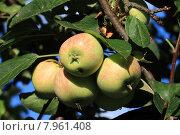 Яблоки на дереве. Стоковое фото, фотограф Валентин Родоманов / Фотобанк Лори