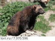 Купить «brown sitting brunette stone mammal», фото № 7970596, снято 21 августа 2018 г. (c) PantherMedia / Фотобанк Лори