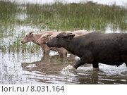 Купить «wasserb ffel water animal asia», фото № 8031164, снято 15 августа 2018 г. (c) PantherMedia / Фотобанк Лори