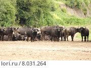 Купить «africa tanzania kaffernb ffel lakemanyara», фото № 8031264, снято 15 августа 2018 г. (c) PantherMedia / Фотобанк Лори