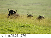 Купить «africa tanzania kaffernb ffel ngorongoronp», фото № 8031276, снято 21 мая 2018 г. (c) PantherMedia / Фотобанк Лори