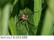 green leaf spider disgust arachnophobie. Стоковое фото, фотограф Martina Berg / PantherMedia / Фотобанк Лори