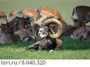 Купить «herd roedeer buck ovis mufflon», фото № 8040320, снято 19 ноября 2017 г. (c) PantherMedia / Фотобанк Лори