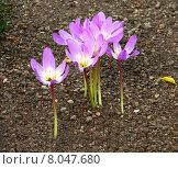 Купить «purple stalk gravel autumn timeless», фото № 8047680, снято 21 августа 2019 г. (c) PantherMedia / Фотобанк Лори