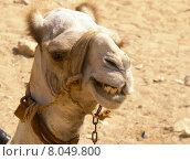 Купить «mammal heat desert ride camel», фото № 8049800, снято 23 июля 2019 г. (c) PantherMedia / Фотобанк Лори