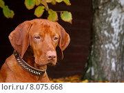 Купить «portrait head autumn dog fall», фото № 8075668, снято 22 августа 2019 г. (c) PantherMedia / Фотобанк Лори