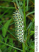 Купить «Papilio machaon, Schwalbenschwanz-Raupe», фото № 8103932, снято 23 января 2019 г. (c) PantherMedia / Фотобанк Лори
