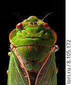 Купить «Greengrocer Cicada », фото № 8105172, снято 23 июля 2019 г. (c) PantherMedia / Фотобанк Лори