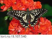 Купить «butterfly butterflies asiatischer schwalbenschwanz butterflie», фото № 8107540, снято 23 января 2019 г. (c) PantherMedia / Фотобанк Лори