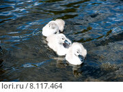 Купить «Три лебединых птенца плывут по воде», фото № 8117464, снято 5 июня 2015 г. (c) Татьяна Кахилл / Фотобанк Лори
