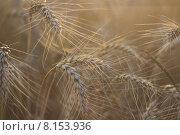 Колосья пшеницы в поле. Стоковое фото, фотограф Друзюк Олександр Степанович / Фотобанк Лори