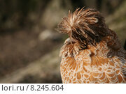 Купить «female wild bird cap chicken», фото № 8245604, снято 24 февраля 2019 г. (c) PantherMedia / Фотобанк Лори