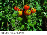 Купить «food plant garden tomatoes eco», фото № 8275940, снято 26 июня 2019 г. (c) PantherMedia / Фотобанк Лори