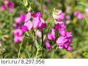 Купить «Душистый горошек (Lathyrus odoratus)», фото № 8297956, снято 13 июля 2015 г. (c) Ирина Яровая / Фотобанк Лори