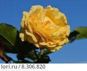 Роза флорибунда Абсолютлей Фабулос (лат. Absolutly Fabulous), Harkness Roses. Стоковое фото, фотограф lana1501 / Фотобанк Лори