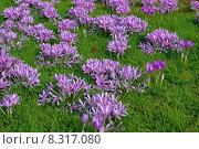 Купить «bulb flower autumn timeless herbstblume», фото № 8317080, снято 21 августа 2019 г. (c) PantherMedia / Фотобанк Лори