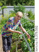 Купить «Пожилая женщина у грядки с перцем на дачном участке», эксклюзивное фото № 8379592, снято 25 июля 2015 г. (c) Елена Коромыслова / Фотобанк Лори