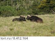 Купить «Büffel bei einer Pause», фото № 8412164, снято 25 мая 2018 г. (c) PantherMedia / Фотобанк Лори