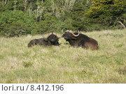 Купить «Büffel geniessen die Sonne Südafrikas», фото № 8412196, снято 15 августа 2018 г. (c) PantherMedia / Фотобанк Лори